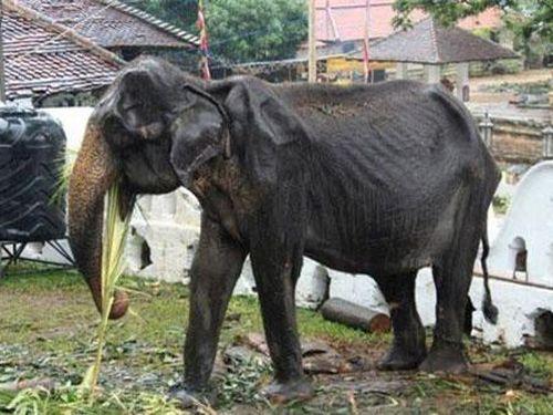 Voi gầy trơ xương vẫn phải diễu hành ở Sri Lanka qua đời