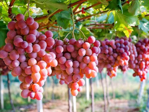 Hơn nửa năm, Việt Nam tăng 3 bậc trong top thị trường nhập khẩu nho tươi của Autralia