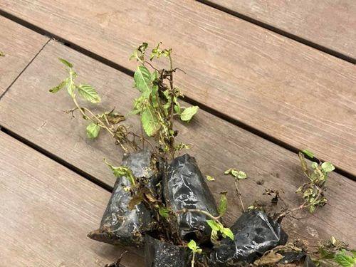 Đăng bán hình cây xanh tốt, Sendo giao cho khách…đống cỏ khô!