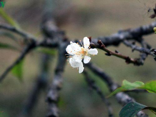 Hoa mận 'bừng tỉnh' mang xuân về sớm trên bản làng Mộc Châu