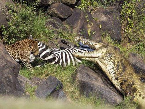 Ảnh động vật: Cá sấu và báo đốm cùng nhau xé xác ngựa vằn
