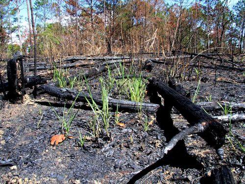 1000m2 rừng thông phòng hộ ở Lâm Đồng bị triệt hạ, đốt cháy