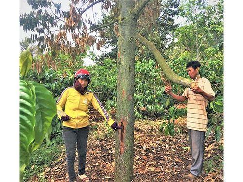 Xử lý nghiêm việc phá hoại vườn cây công nghiệp ở Ðắk Lắk