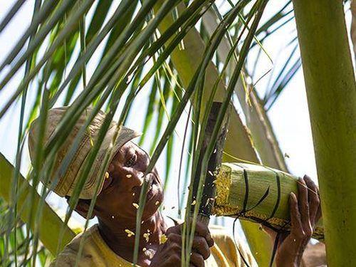 Sokfarm – sản phẩm mật hoa dừa lần đầu tiên được sản xuất ở Việt Nam