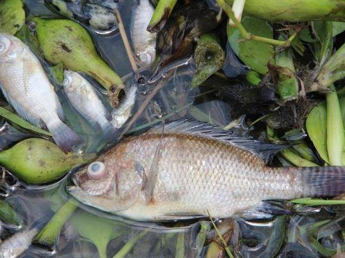 Bình Dương: Nước ô nhiễm vượt chuẩn 75 lần, cá chết hàng loạt