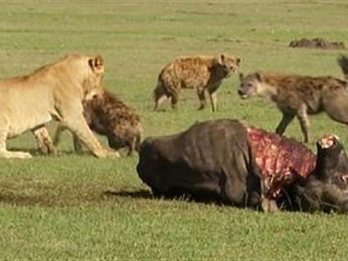Đối đầu bầy linh cẩu, sư tử đơn độc nhận trái đắng
