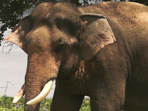 Đã khống chế được voi nhà động dục, quật nài voi tử vong