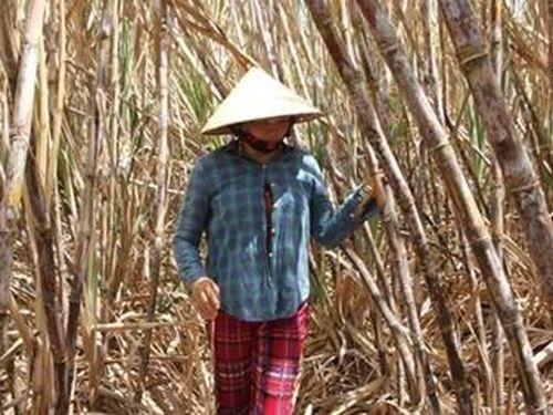 Nhiều diện tích mía ở Cù Lao Dung nguy cơ phải đốn bỏ