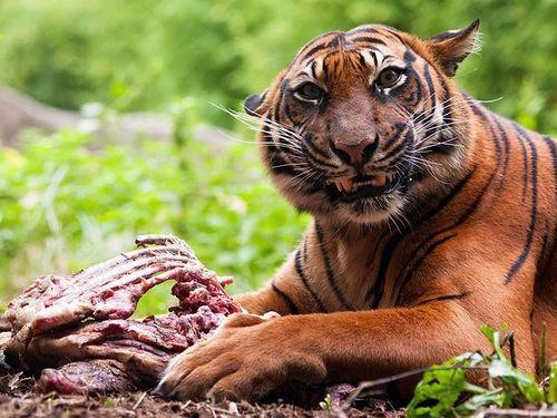 Hổ ăn thịt người bị giam cầm suốt đời