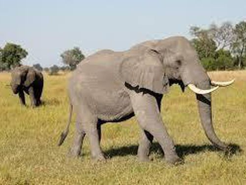 154 con voi chết bí ẩn ở Botswana