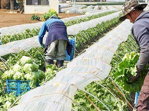 Ngành nông nghiệp Nhật Bản chịu ảnh hưởng trước dịch