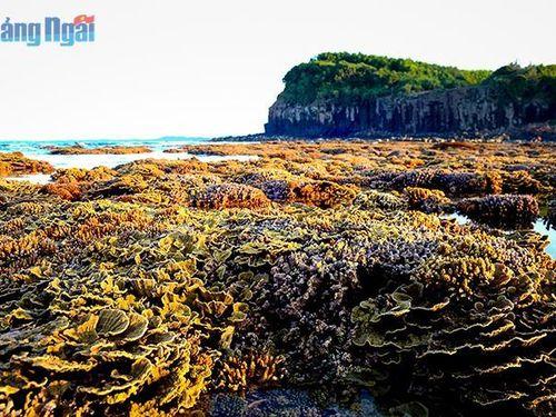 Cần bảo vệ rạn san hô biển để phát triển du lịch Gành Yến