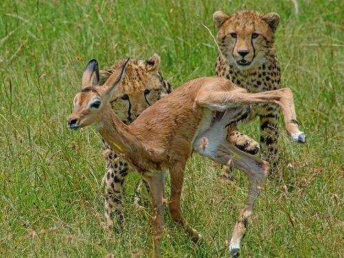 Báo mẹ 'bắt cóc' linh dương để dạy còn bài học săn mồi