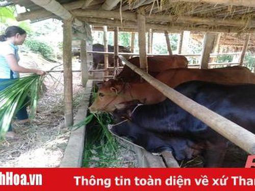Huyện Lang Chánh phát triển chăn nuôi gia súc