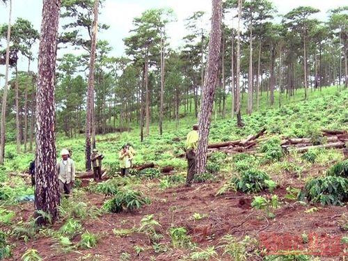 Những cánh rừng thông bị 'vùi' xuống lòng đất