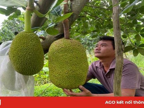 Phát triển kinh tế từ cây mít Thái siêu sớm