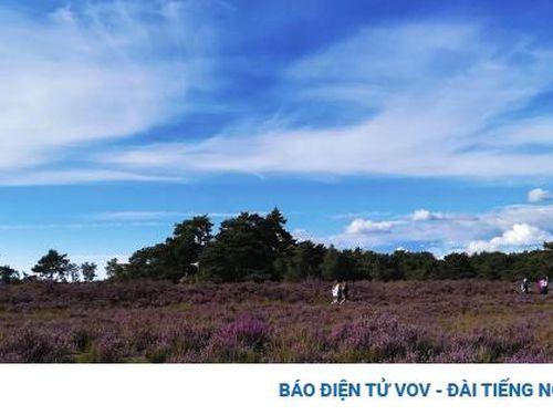 Vẻ đẹp xao lòng của những đồng hoa thạch nam mênh mang sắc tím tại Bỉ