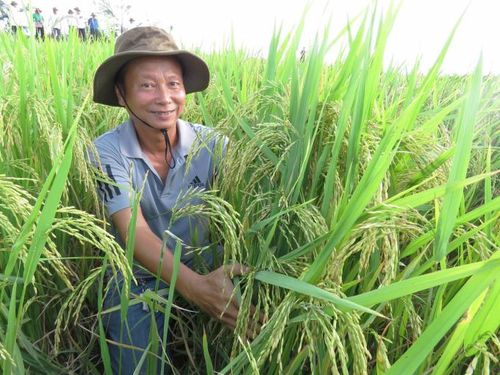 Quảng Bình: Lúa hữu cơ DT 18 hiệu quả cao