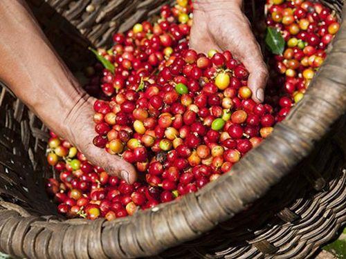Giá cà phê hôm nay tiếp tục giảm, giá tiêu tăng nhẹ