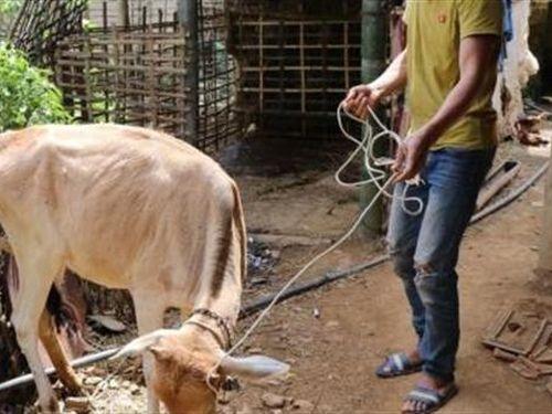 Giao bò kém tiêu chuẩn cho dân nghèo: Lời hai phía...