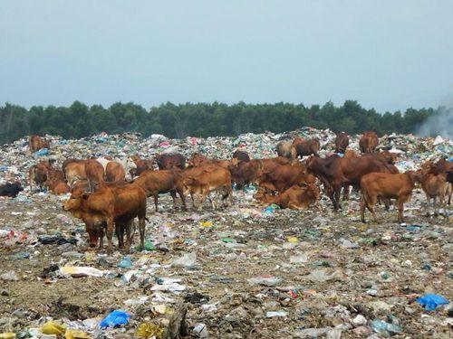 Hàng trăm con bò được chăn thả trên bãi rác lớn nhất thành phố Phan Thiết