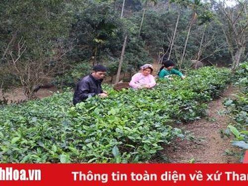 Khôi phục và phát triển cây chè truyền thống