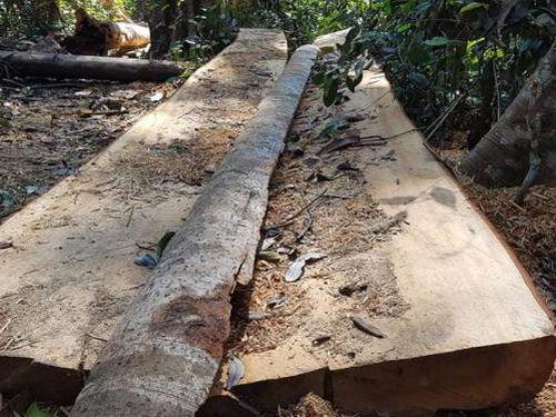Bắt 3 đối tượng liên quan vụ phá rừng Bạch Tùng cổ thụ ở Lâm Đồng