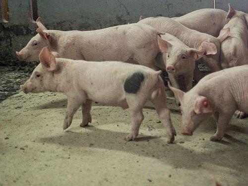 Tổ chức sức khỏe động vật toàn cầu OIE: Tuyên bố hết dịch tả lợn châu Phi tại Bỉ