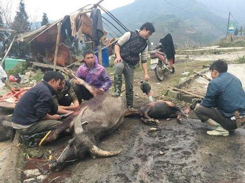 Huế: Gần 500 trâu, bò chết do rét đậm kéo dài tại huyện miền núi A Lưới