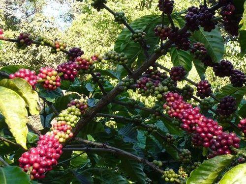 Giá cà phê hôm nay 15/1: Cà phê Arabica tiếp tục tăng mạnh, trong nước giữ mốc 32 triệu đồng/tấn