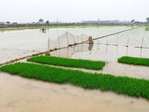 Tỷ lệ gieo cấy vụ Xuân 2021 của Hà Nội mới đạt 6,5%
