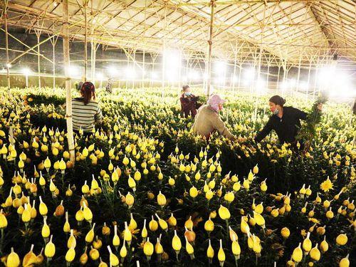 Đà Lạt: Trắng đêm thu hoạch hoa Tết chở về xuôi, công cắt hoa tăng gấp 3 lần