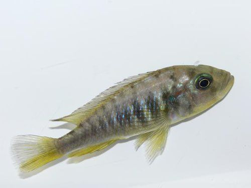 Phát hiện cá cái mọc thêm tinh hoàn để tự đẻ con