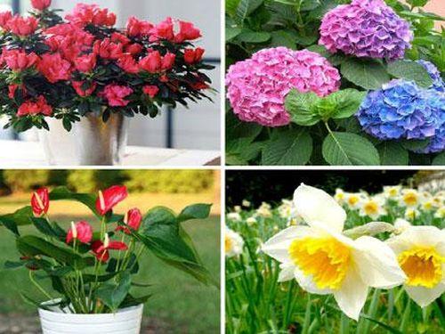 Chơi hoa ngày Tết: Đẹp nhưng... độc