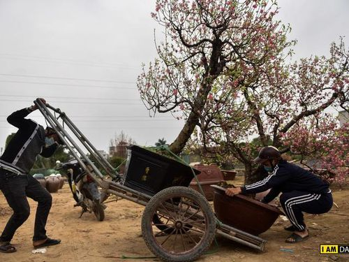 Sau Tết, làng đào Nhật Tân tất bật đón đào ' hồi hương'