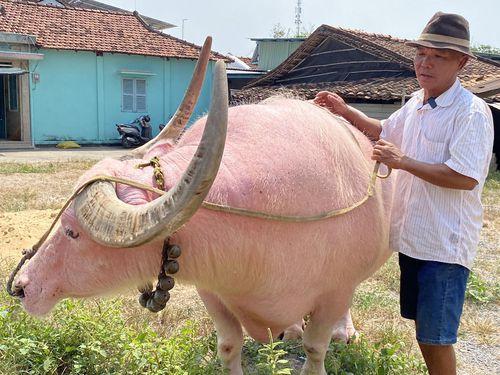 Kỳ lạ chú trâu màu hồng nặng gần 1,5 tấn gây sốt ở TP.HCM