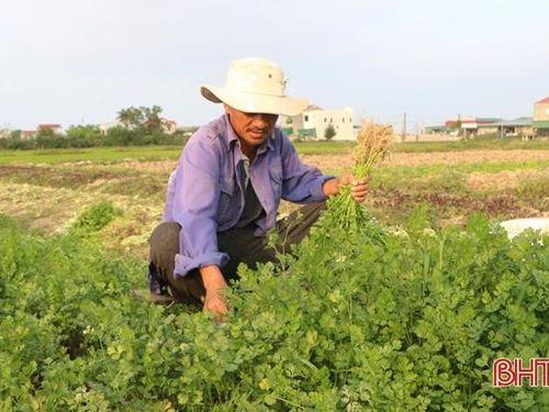 Giá rau xanh 'chạm đáy', nông dân ven đô TP Hà Tĩnh ngậm ngùi dọn đồng