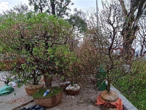 Gom đào thải sau Tết trồng thành rừng đào ở huyện miền núi Thừa Thiên – Huế