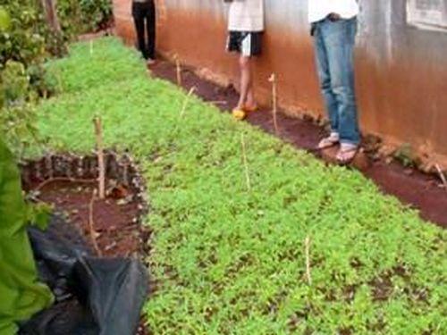 Phát hiện vườn ươm cây cần sa giống trong rẫy tiêu
