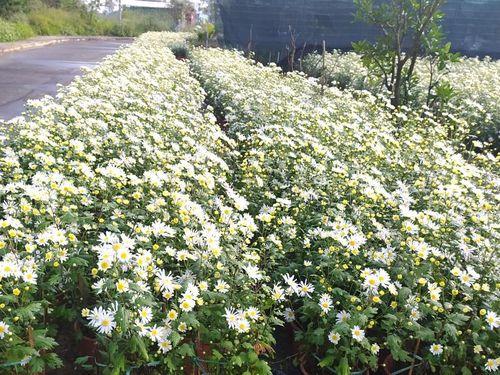 CHÙM ẢNH: Độc đáo vườn cúc họa mi 'trái vụ' tại Đà Nẵng