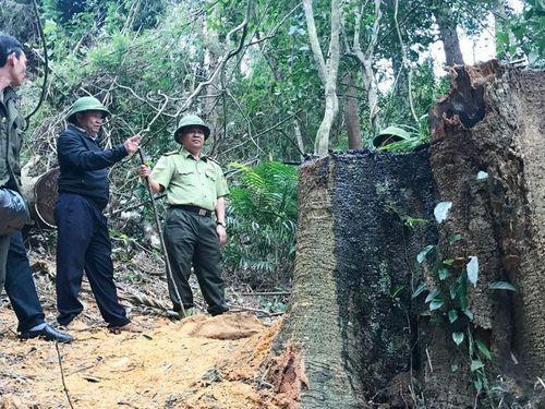 Lâm tặc điều xe độ chế vào rừng 'xẻ thịt' gỗ giáng hương quý hiếm