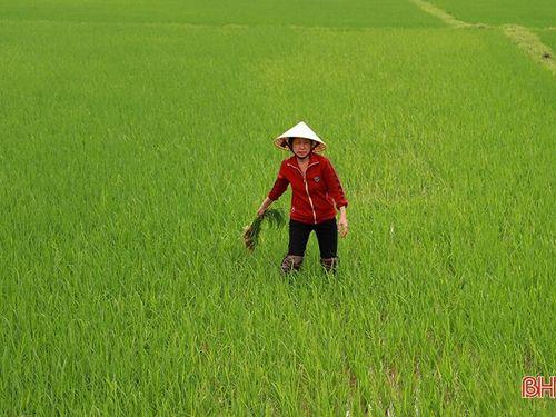 Nông dân Hà Tĩnh chủ động phòng trừ sâu bệnh, đạo ôn hại lúa, quyết giành vụ xuân thắng lợi