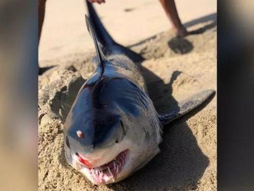 Xác cá mập bị đâm vào đầu bí ẩn, dạt vào bờ biển