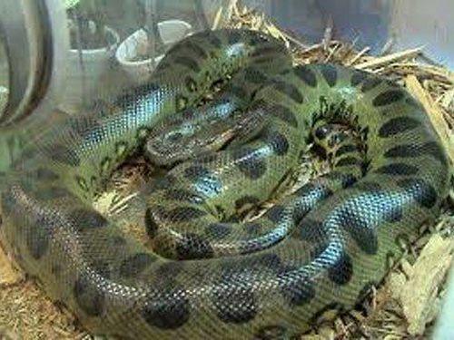 Những kỷ lục trong thế giới loài rắn