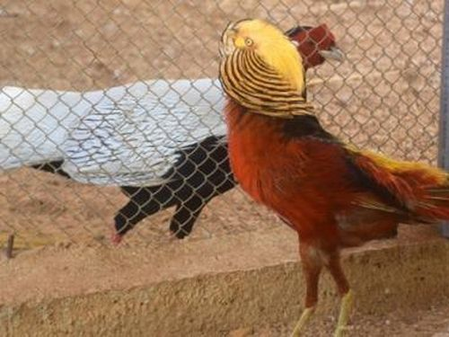 Chàng kỹ sư xây dựng 'bén duyên' với những loài chim quý