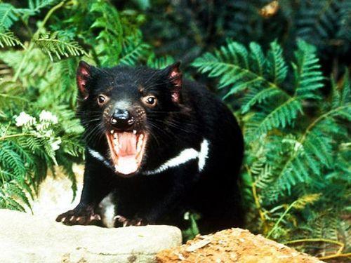 Quỷ Tasmania xuất hiện tại Australia sau hàng nghìn năm biến mất