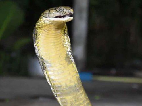 Cặp rắn hổ mang rủ nhau vào nhà dân giao phối, nổi điên khi bị bắt gặp