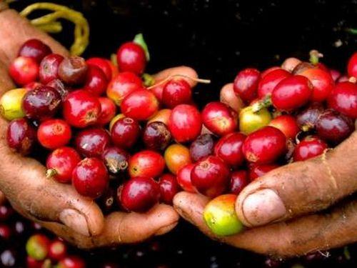 Giá cà phê hôm nay 5/4: Trong nước đi ngang, thị trường thế giới tiếp tục giảm