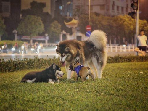 Hãi hùng chó to thả rông, không rọ mõm gây nguy hiểm nơi công cộng