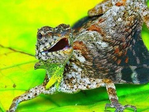 Kỳ lạ loài thằn lằn có thể bay như rồng